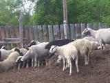 Продаю овцы с ягнятами