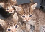 Отдам котят от кошки-мышеловки