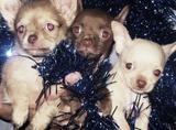 Милые щеночки чихуахуа